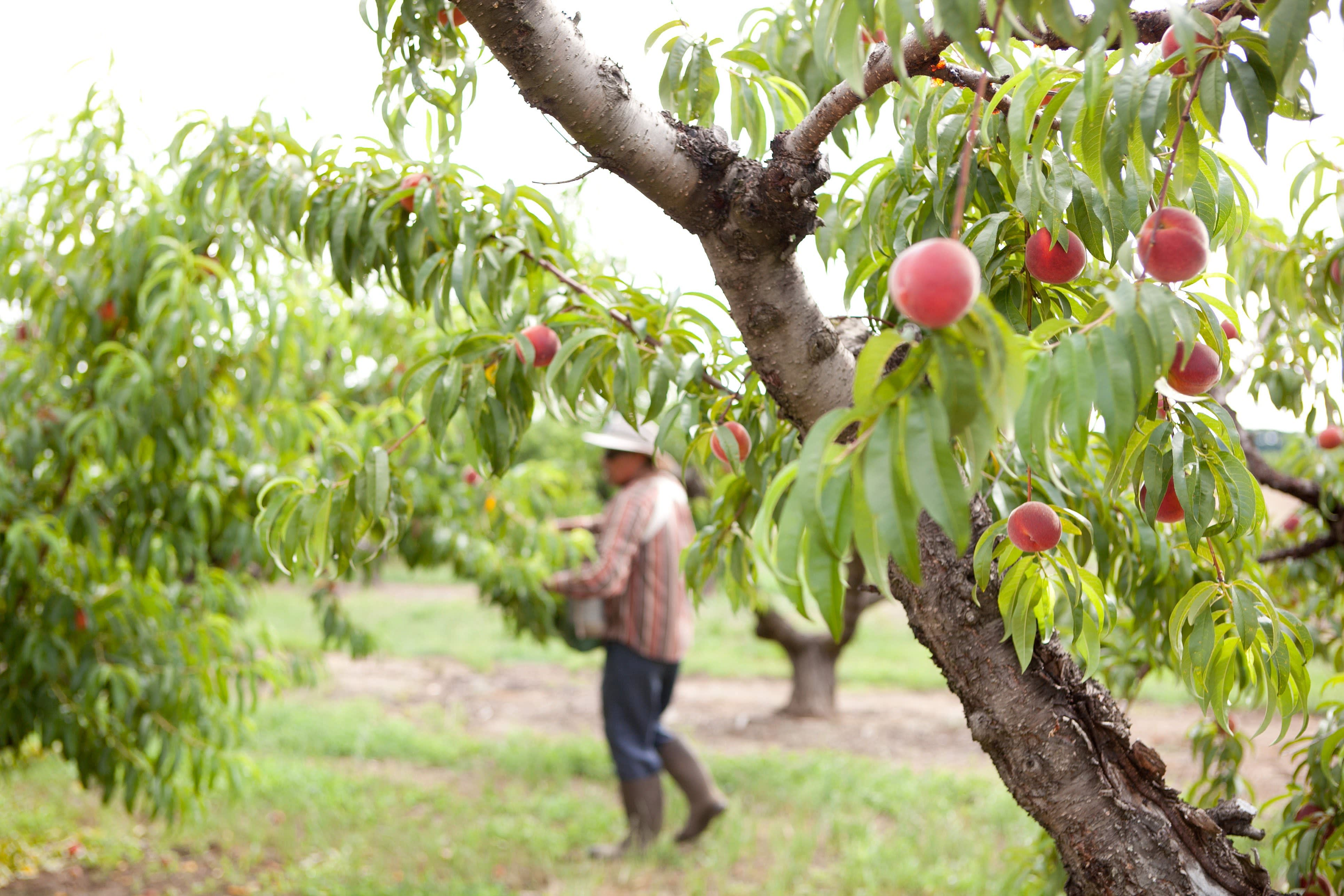 How a Georgia Peach Gets Picked: gallery image 8