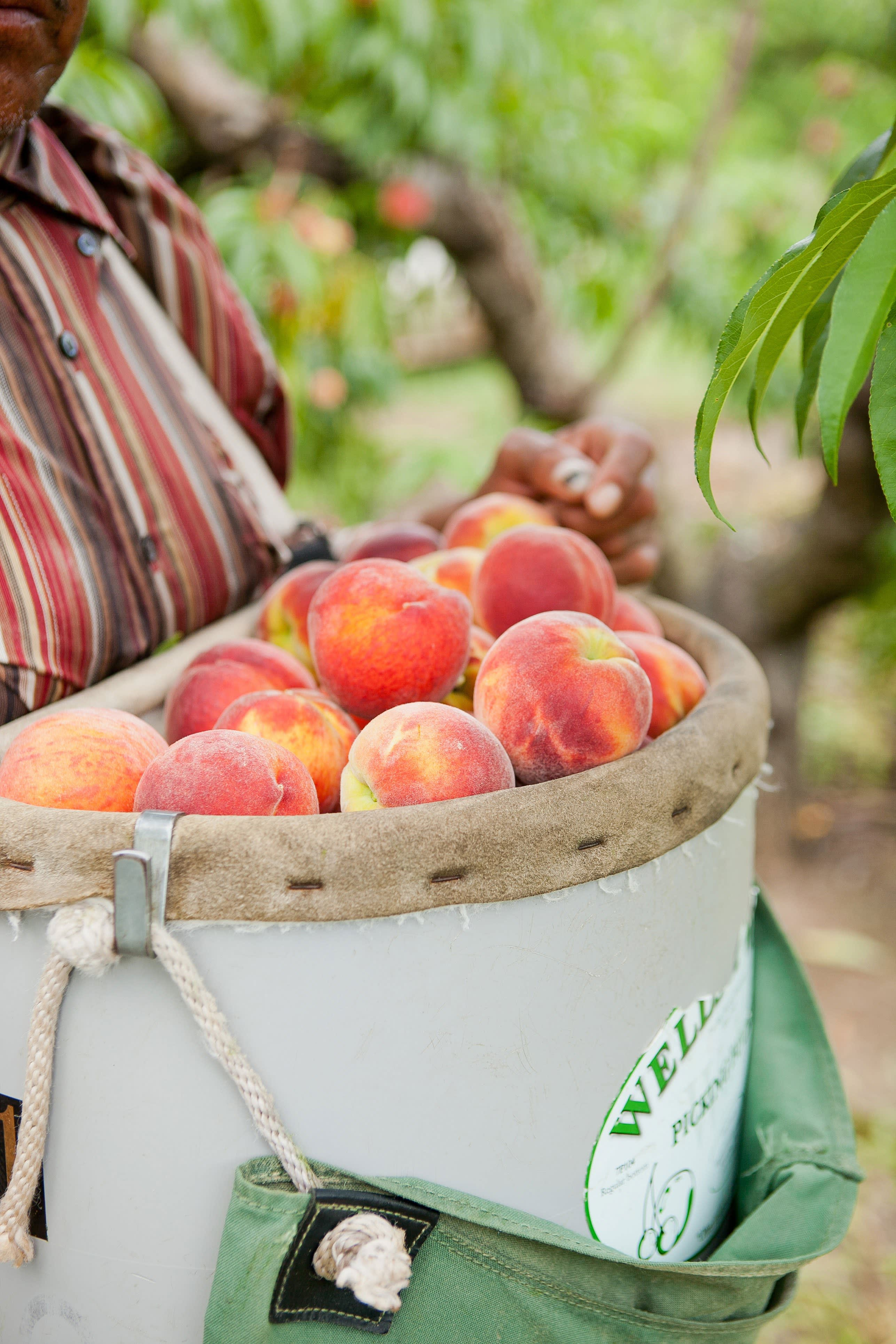 How a Georgia Peach Gets Picked: gallery image 9