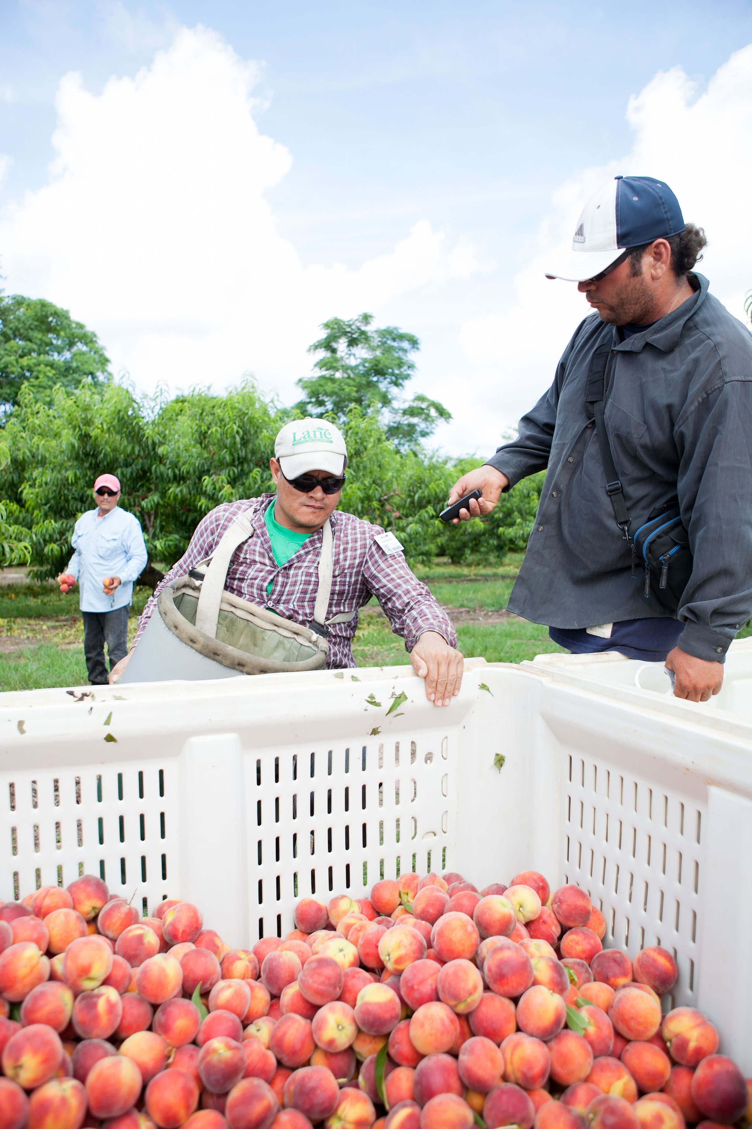 How a Georgia Peach Gets Picked: gallery image 17