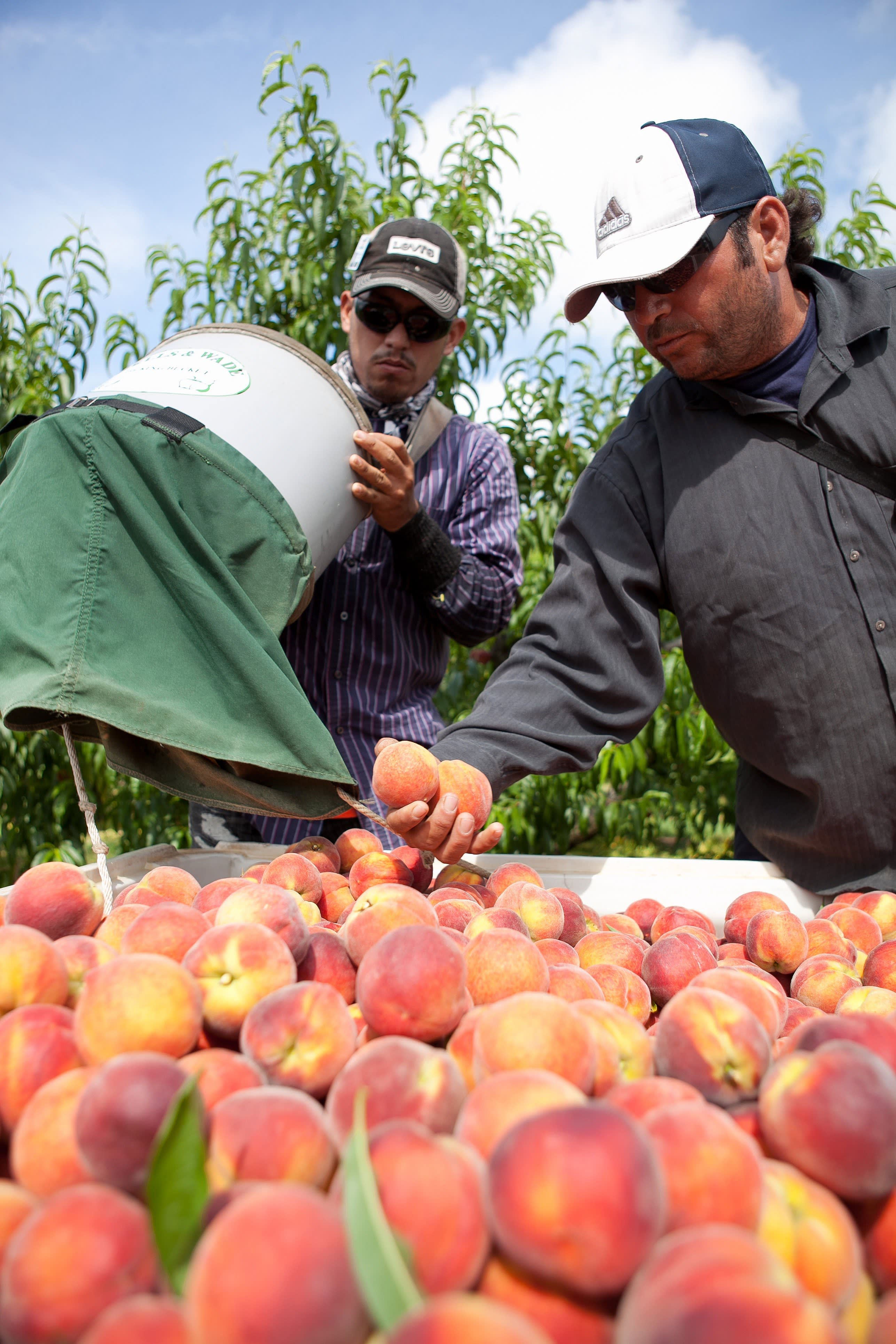 How a Georgia Peach Gets Picked: gallery image 14