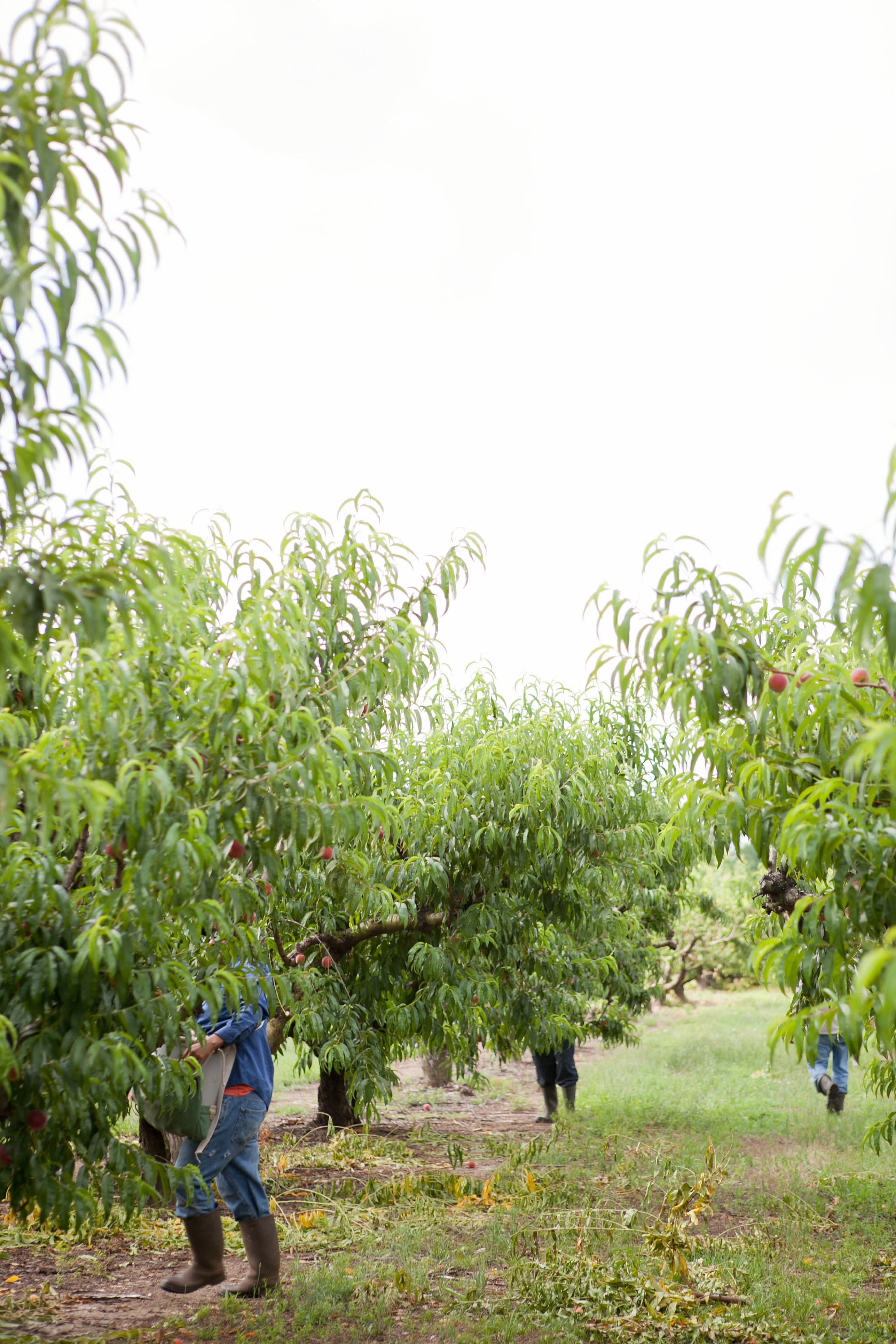 How a Georgia Peach Gets Picked: gallery image 6
