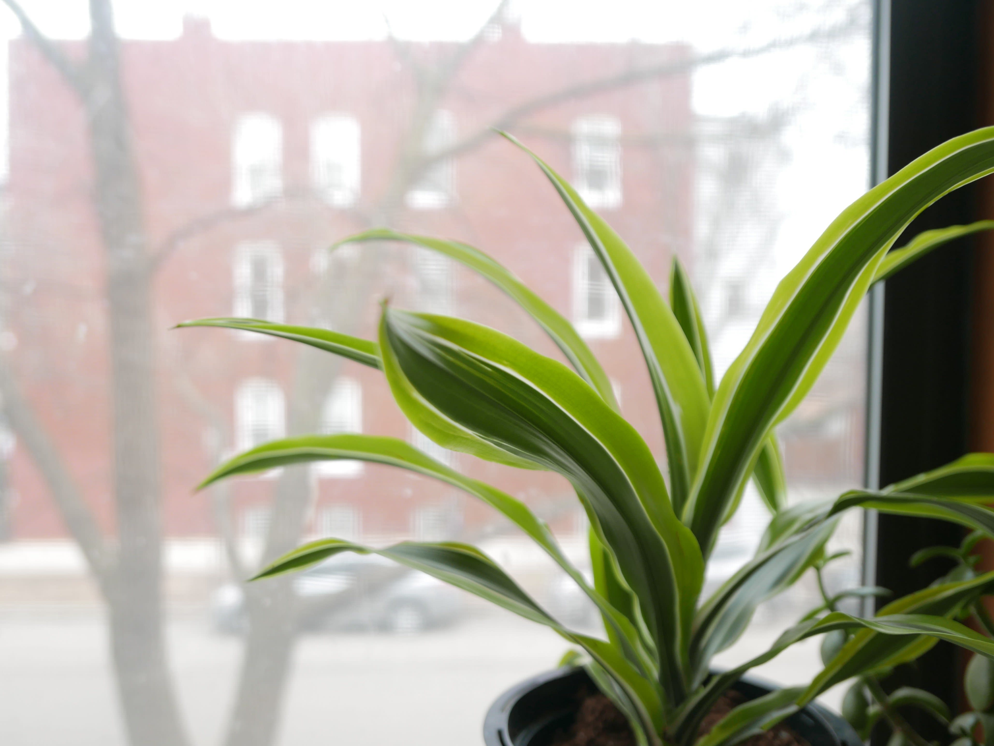 Dumb cane plant by window
