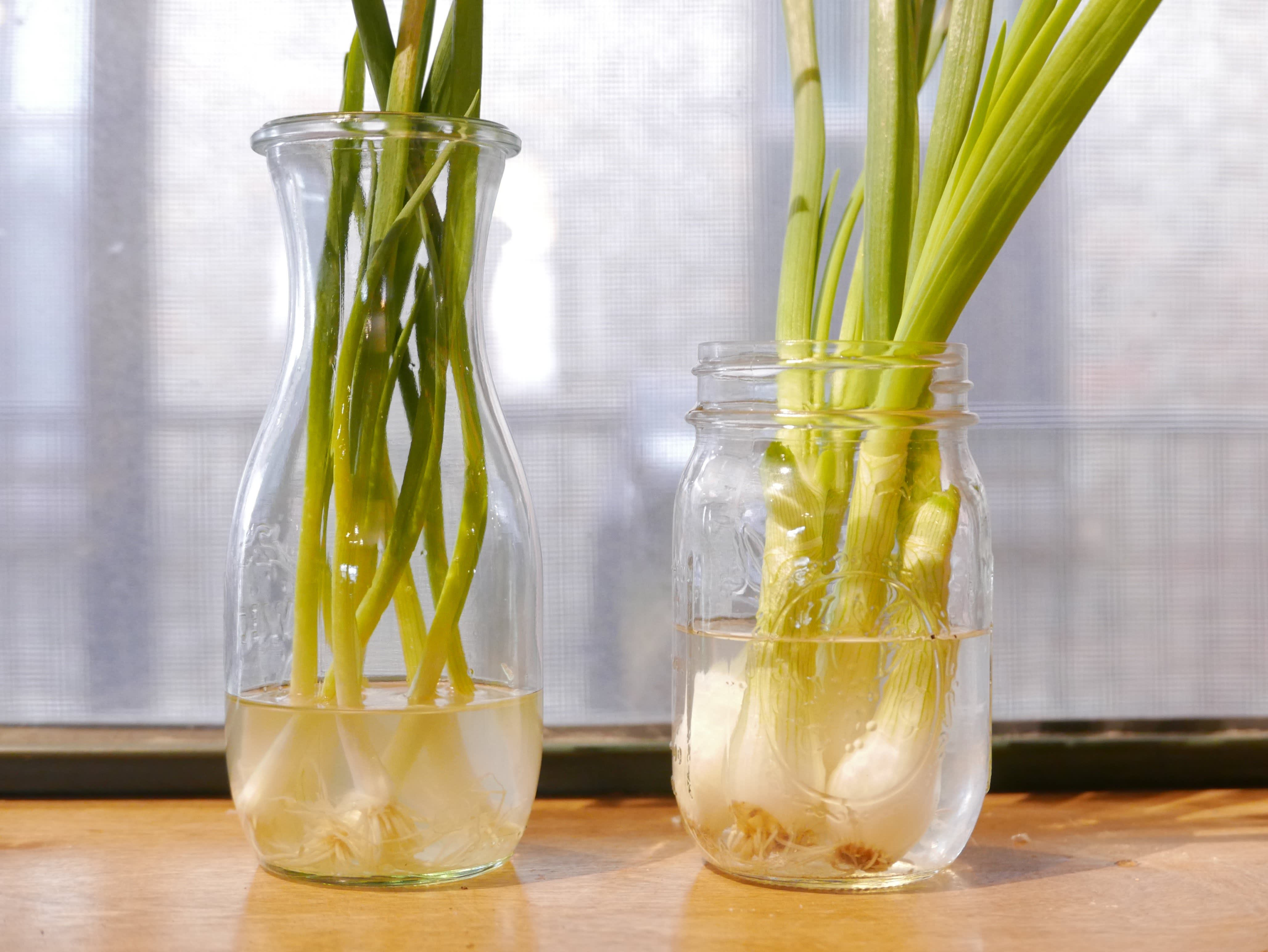 spring onions in water