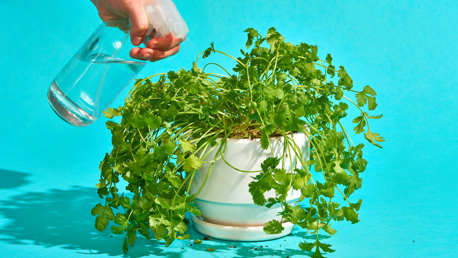 How to Grow Cilantro Plants | Apartment Therapy