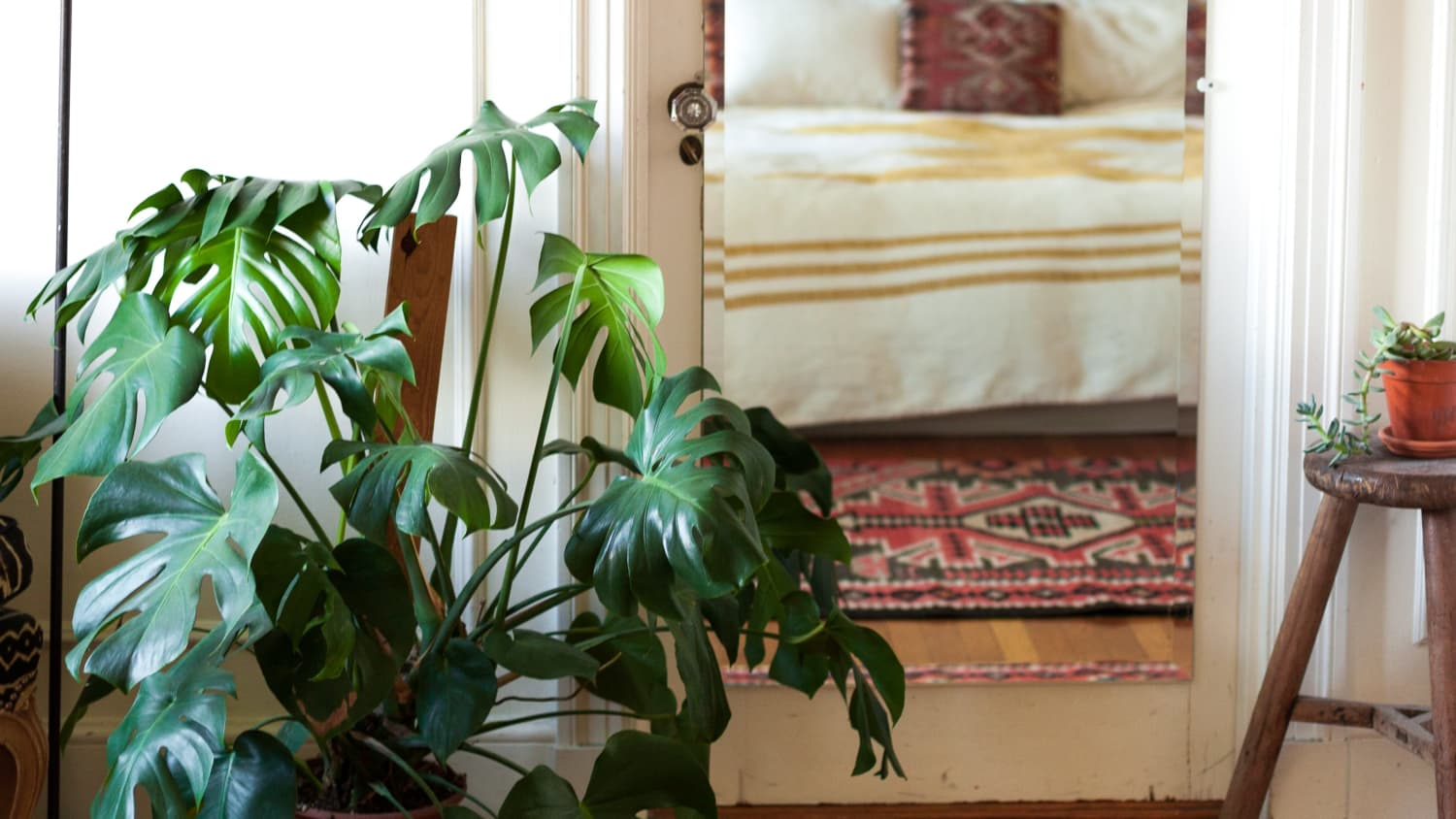 Monstera Deliciosa Plant - Growing Care and Propagation | Apartment