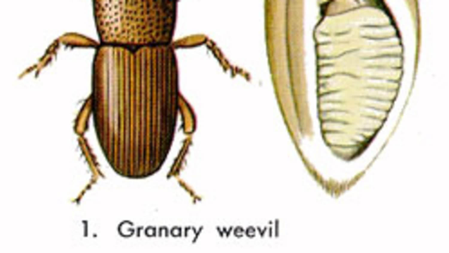 How To Prevent & Get Rid Of Grain Weevils   Kitchn