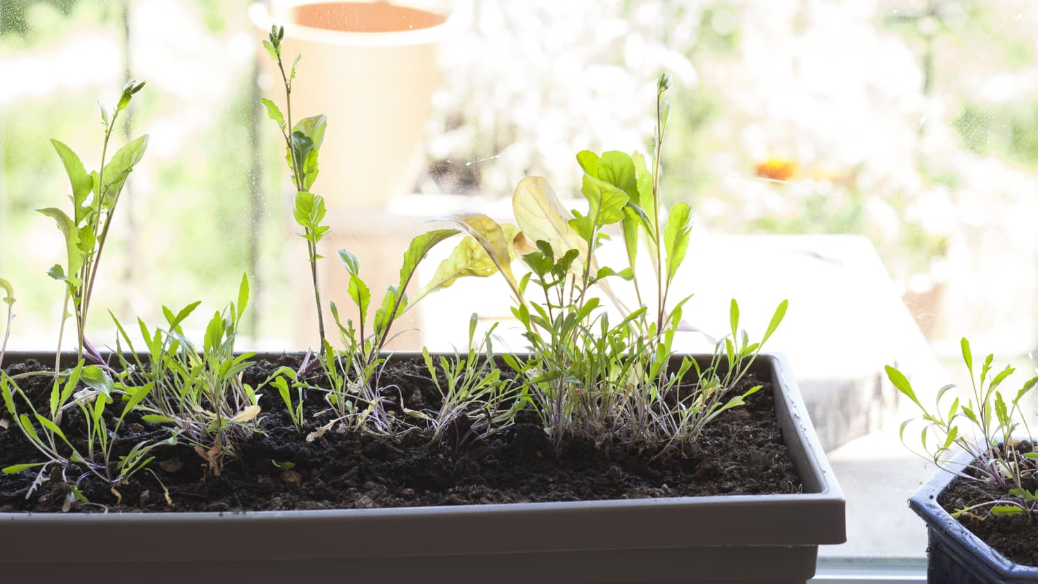What You Need to Know About Growing Arugula Indoors   Kitchn
