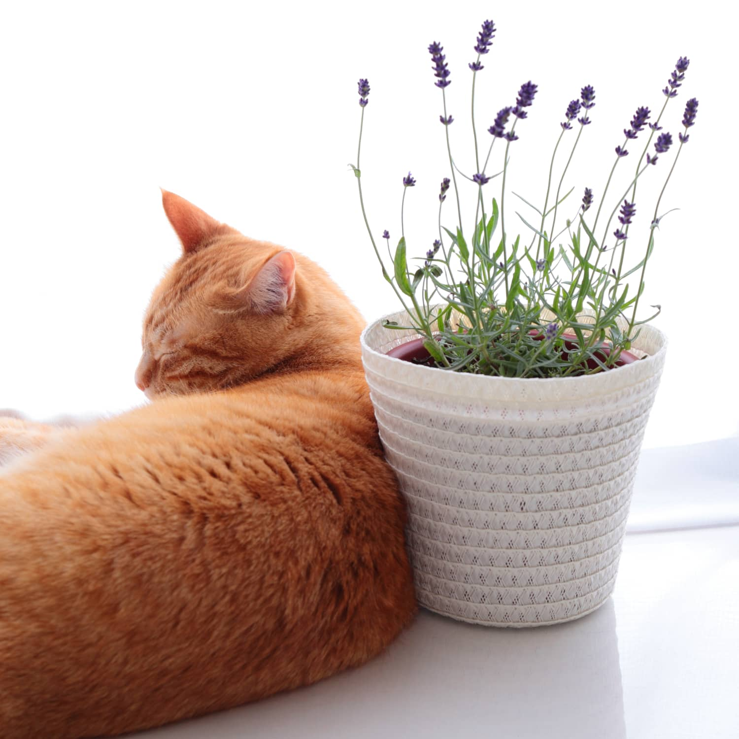 Essential Oil Knowledge for Cat Owners | Apartment Therapy