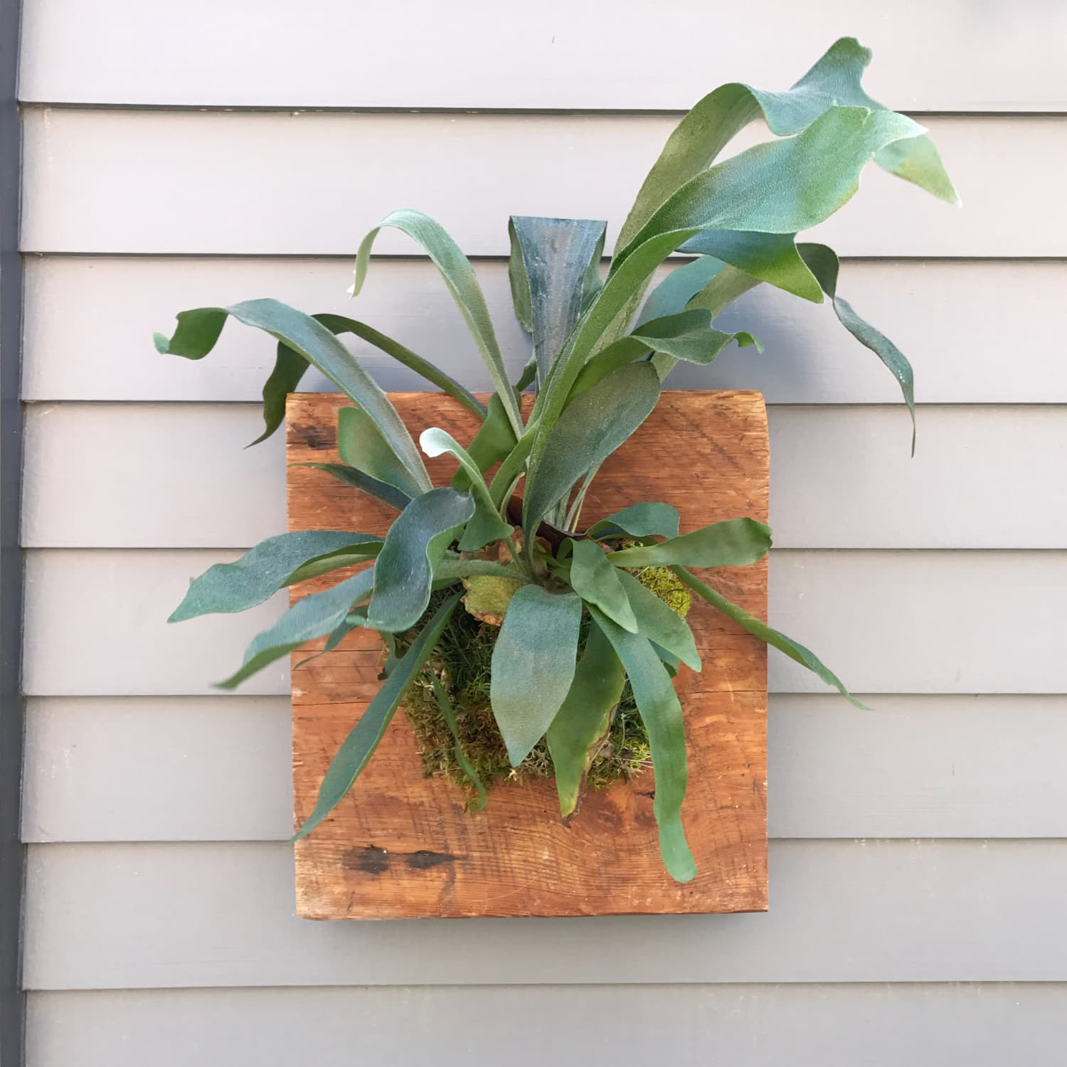 How To Mount a Staghorn Fern | Apartment Therapy