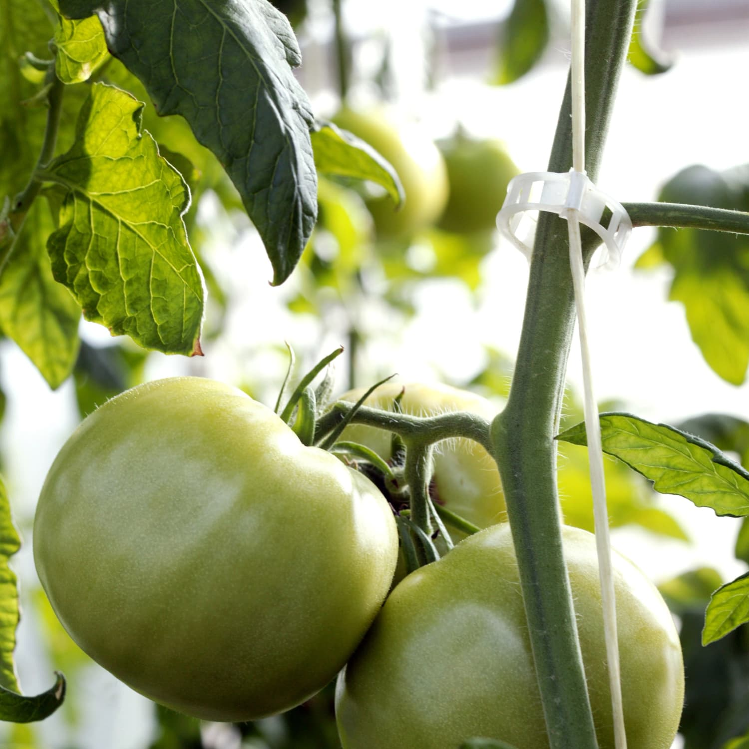 What's the Difference Between Green Tomatoes and Tomatillos
