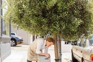 The chef Melissa Perello douses an olive tree with used cooking water outside Octavia, her new restaurant in San Francisco