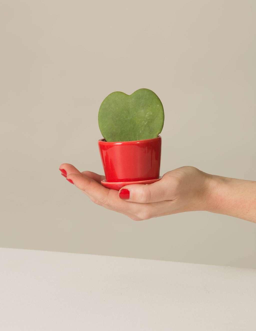 Sweetheart Wax Plant Care - Hoya Kerrii Heart   Apartment Therapy