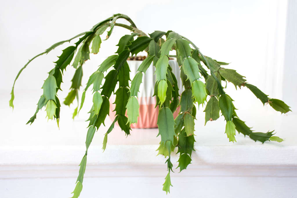 Christmas Cactus: Tips for Growing, Care & Propagating