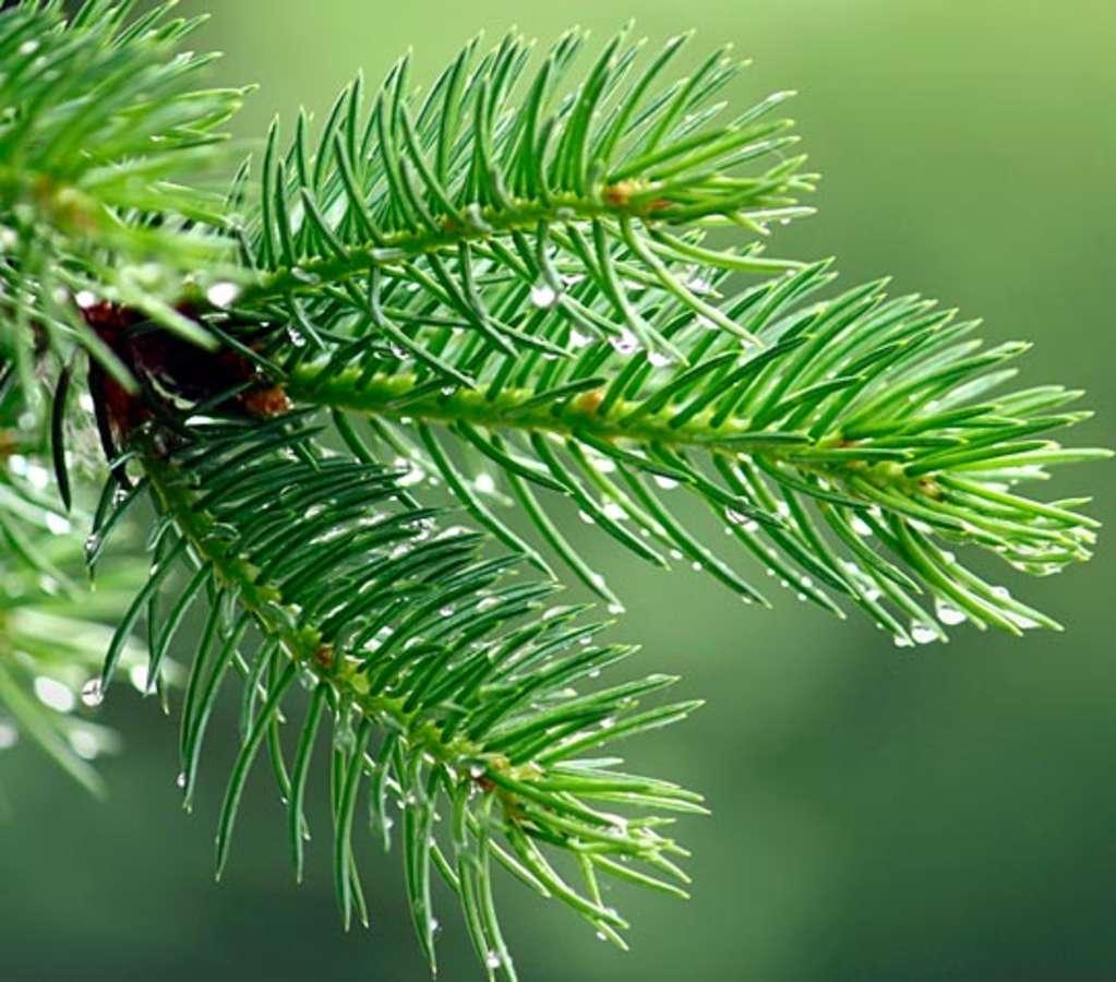 Christmas Tree Needles: Eat Your Christmas Tree! Edible Pine Needles