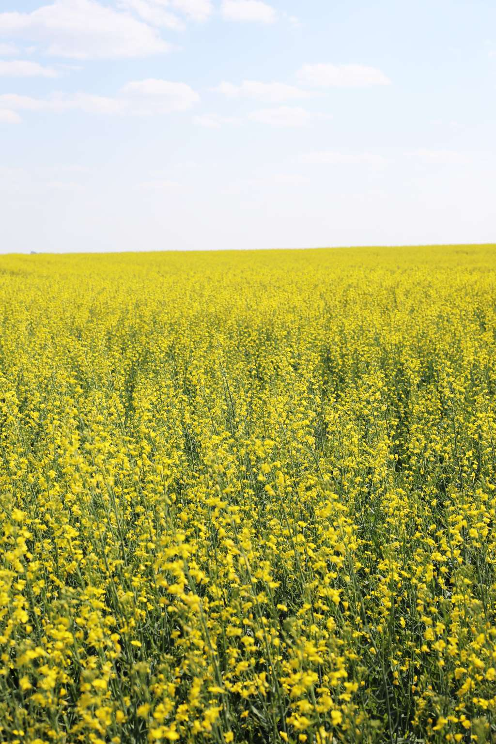 Whats The Difference Between Canola And Rapeseed Kitchn