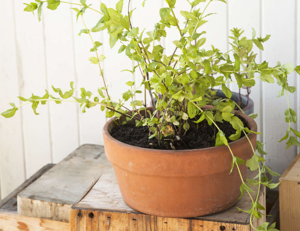 What's the Easiest Herb to Grow Indoors?