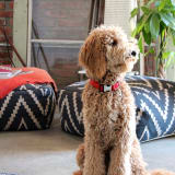 Dog sitting on living room floor with Ikat floor cushions