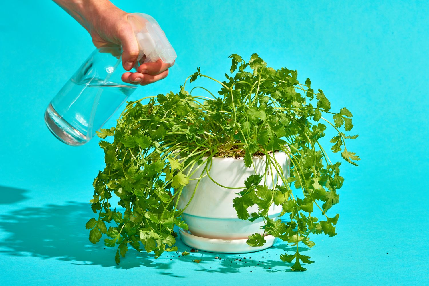 The Dos and Don'ts of Growing Cilantro