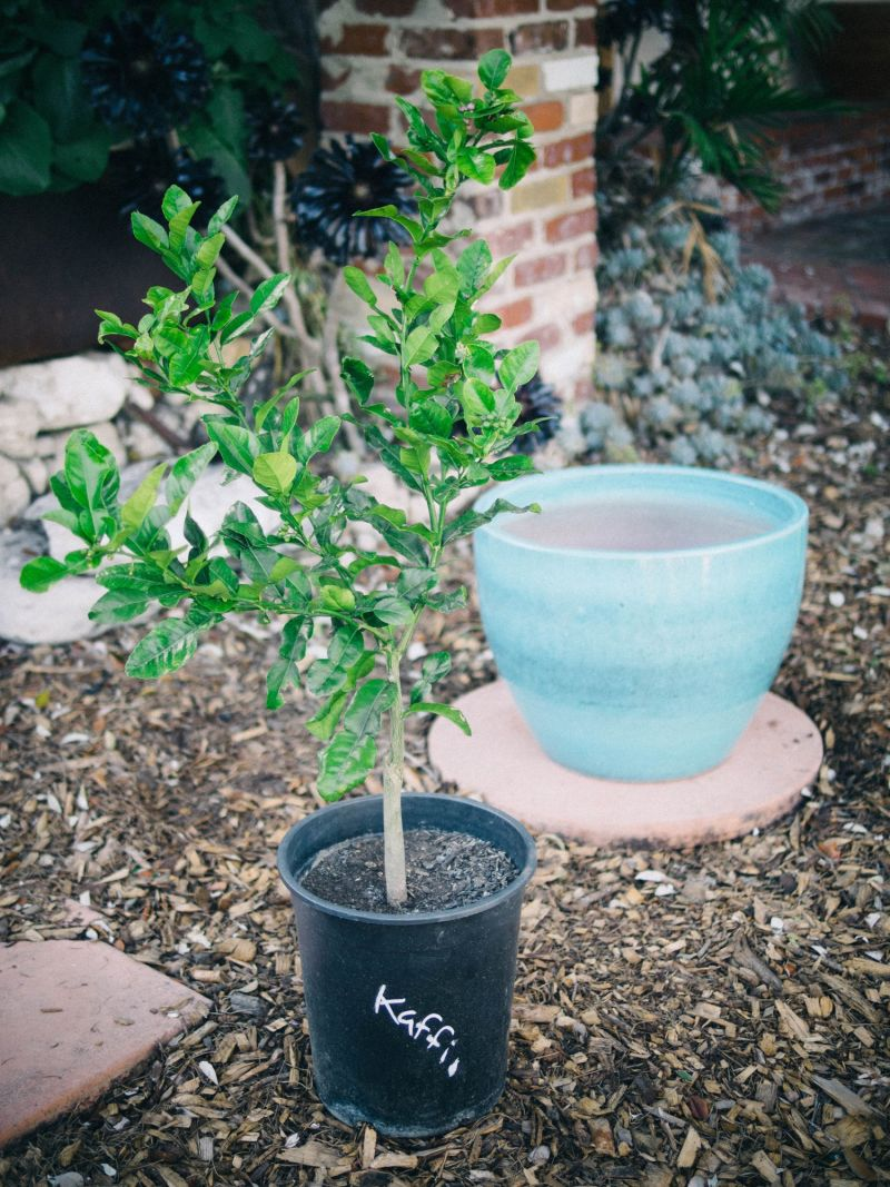 Semi-dwarf kaffir lime tree and container