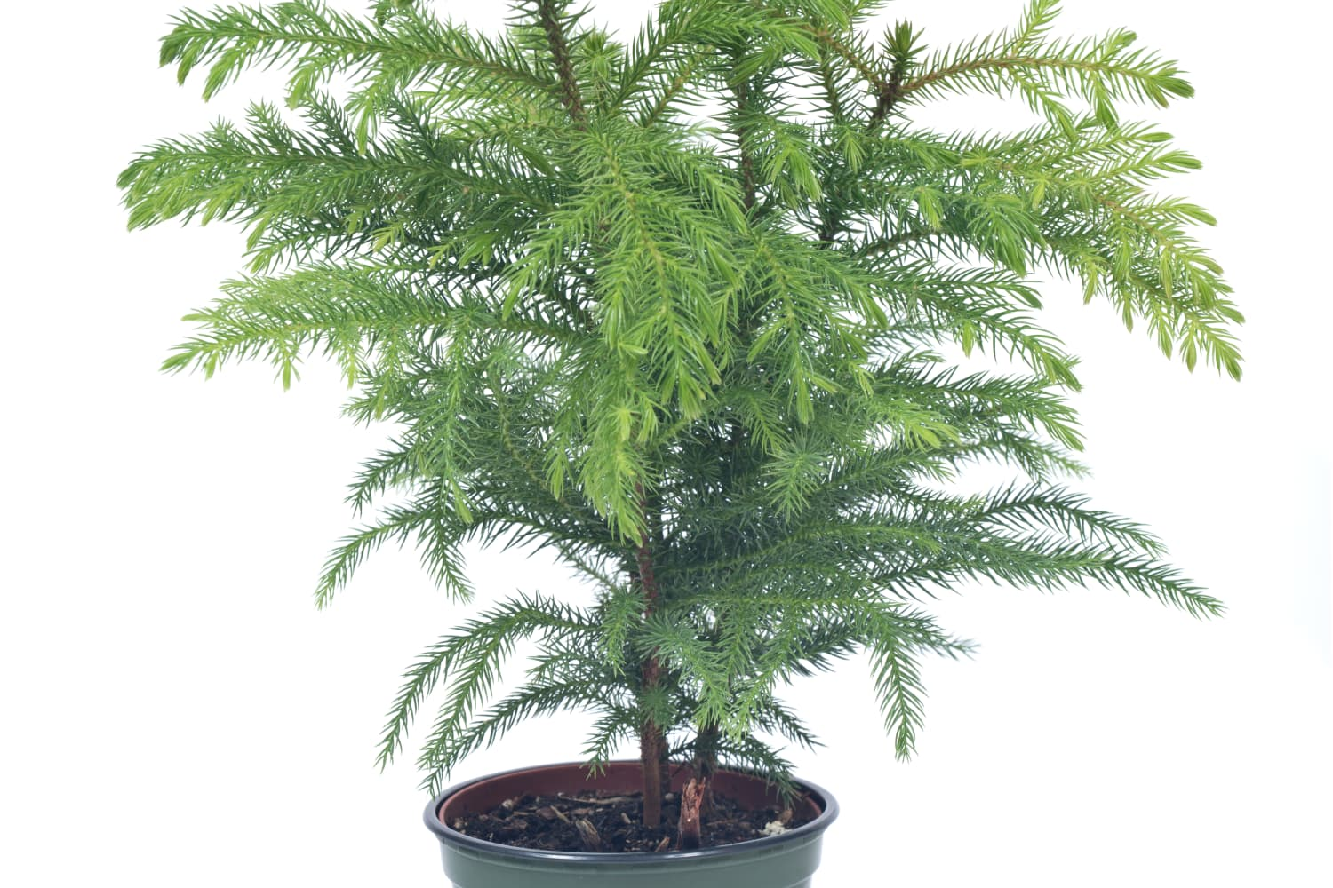 Norfolk Island Pine: Meet the New Darling of the Houseplant Squad