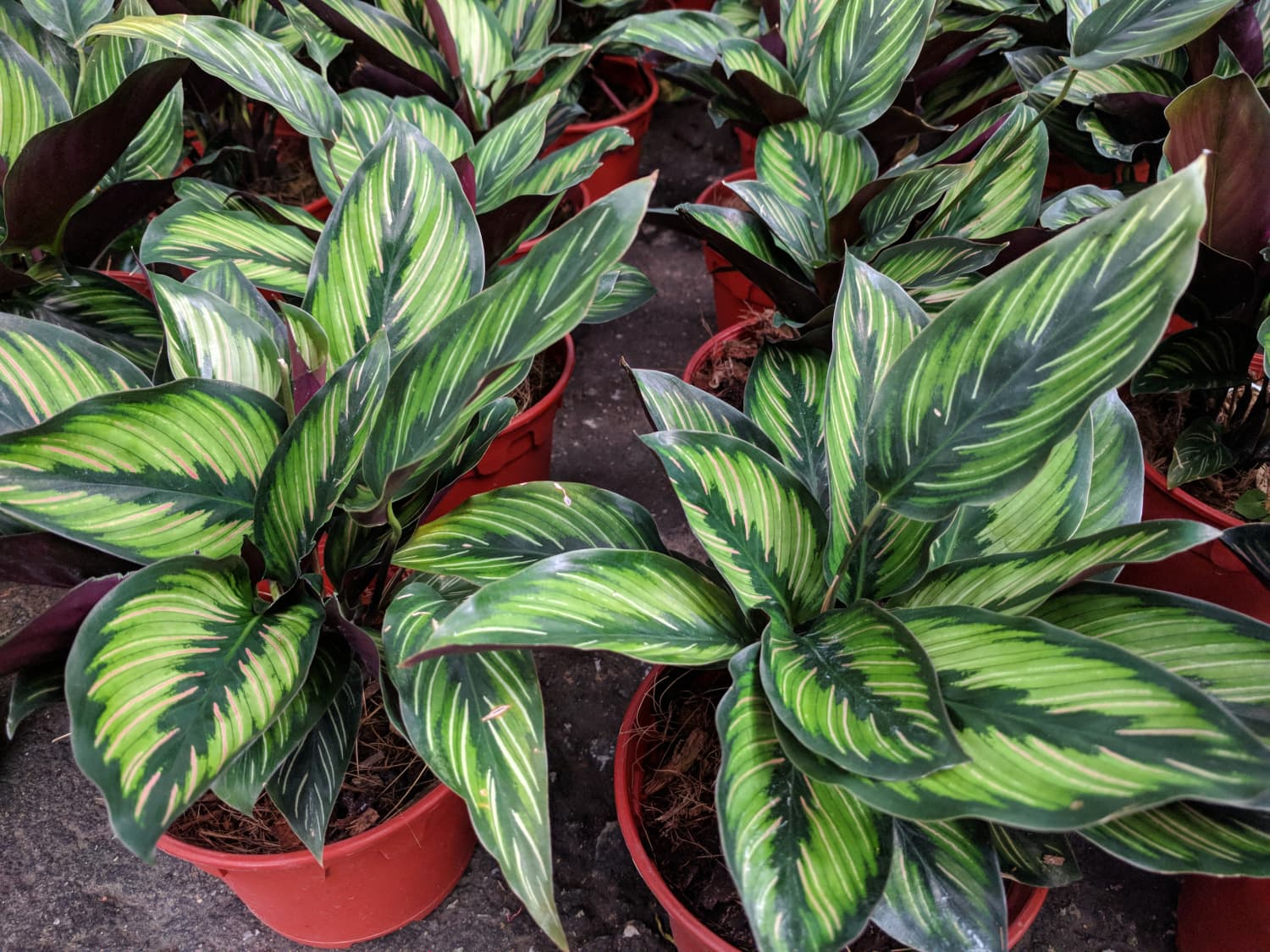 Caring for Calatheas, the Most Beautiful Low-Light Plants