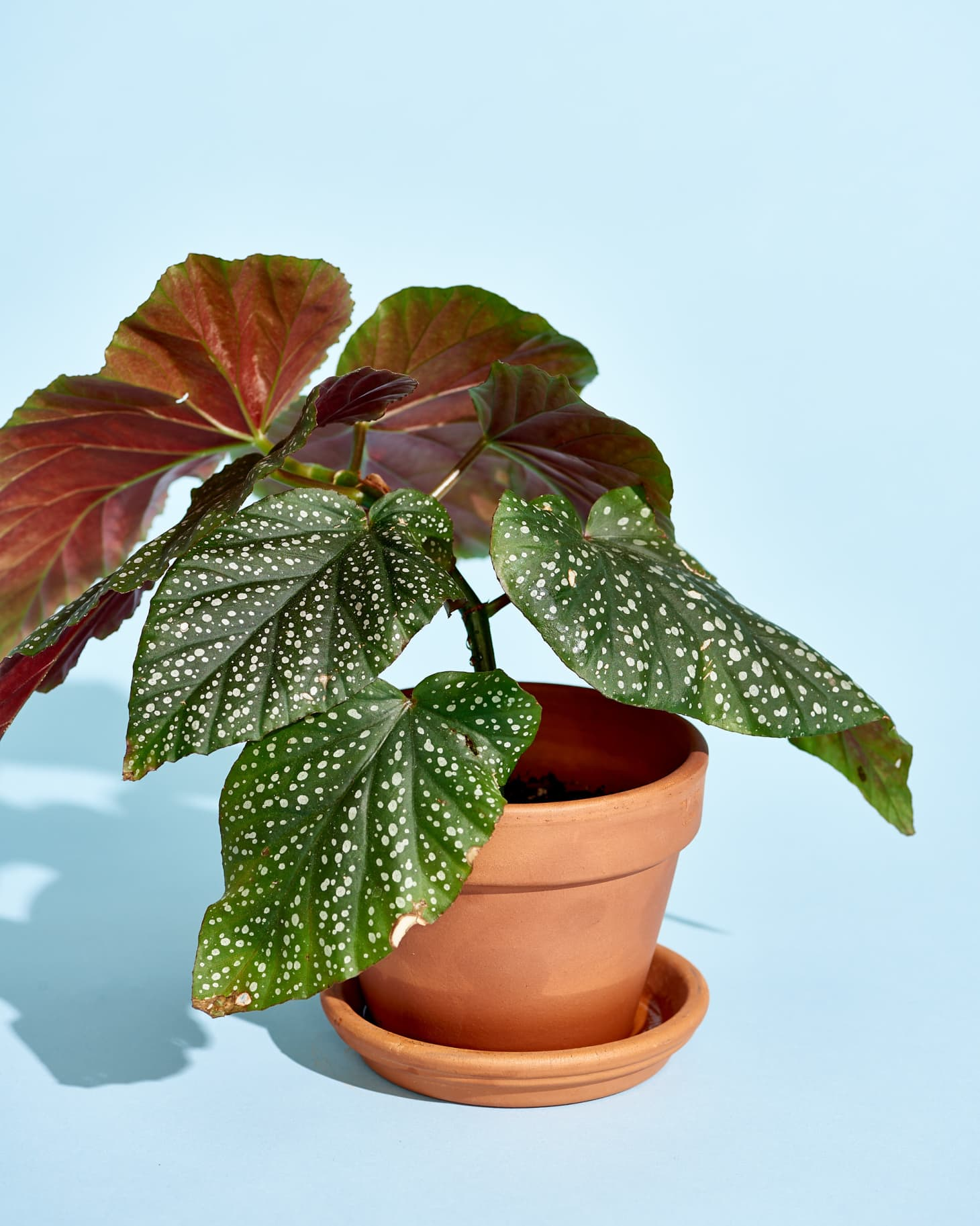 How To Care For Begonia Plants Apartment Therapy