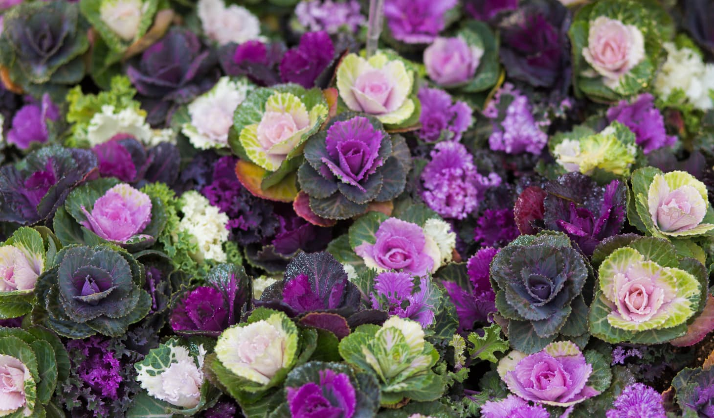 How To Grow And Care For Ornamental Kale And Cabbage Apartment