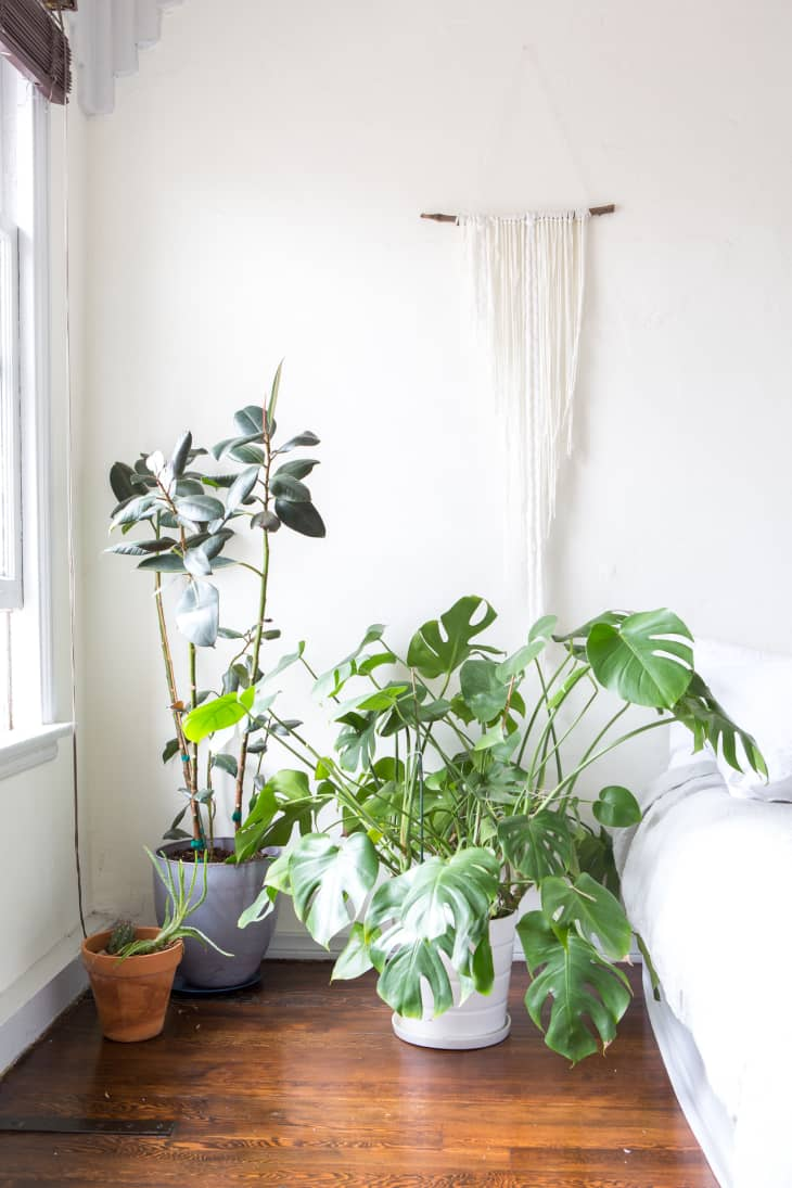Monstera Deliciosa Plant Care How To Grow Maintain Split Leaf Philodendron Apartment Therapy