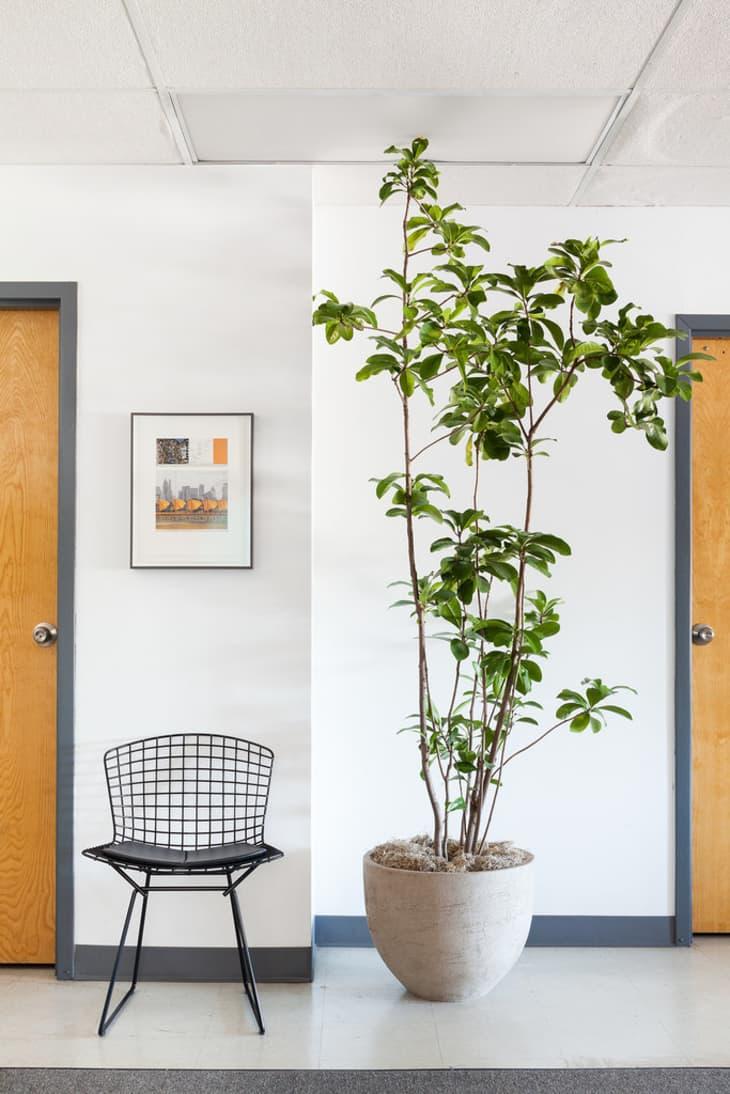 楼道里的一棵卡拉卡树