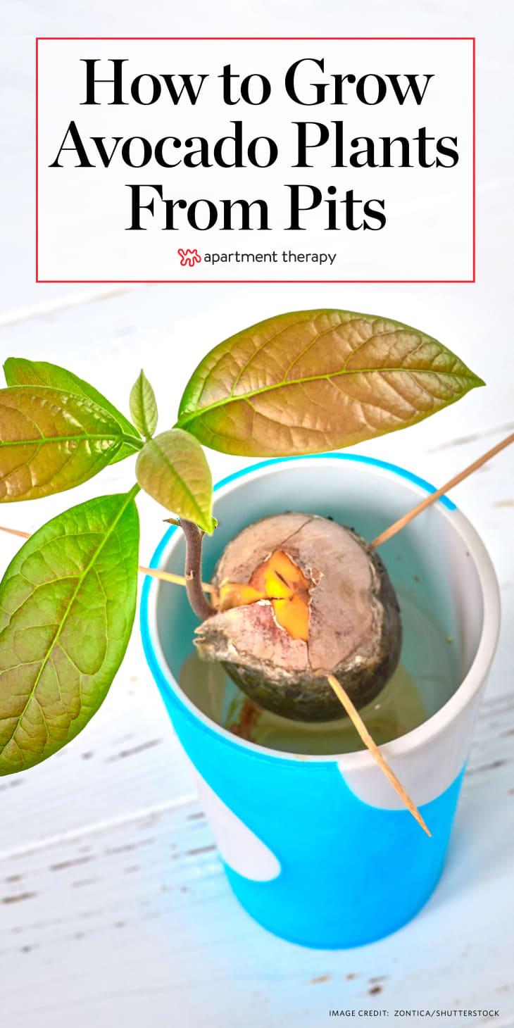 """一种自制的鳄梨植物,上面写着""""如何从果核中种植鳄梨"""""""