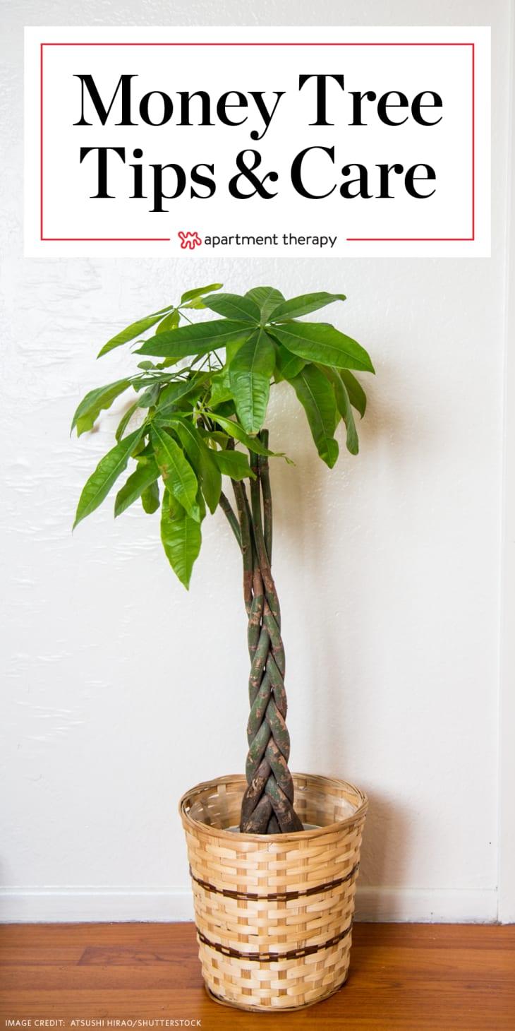 """带有文字""""money tree Tips & Care""""的金钱树"""