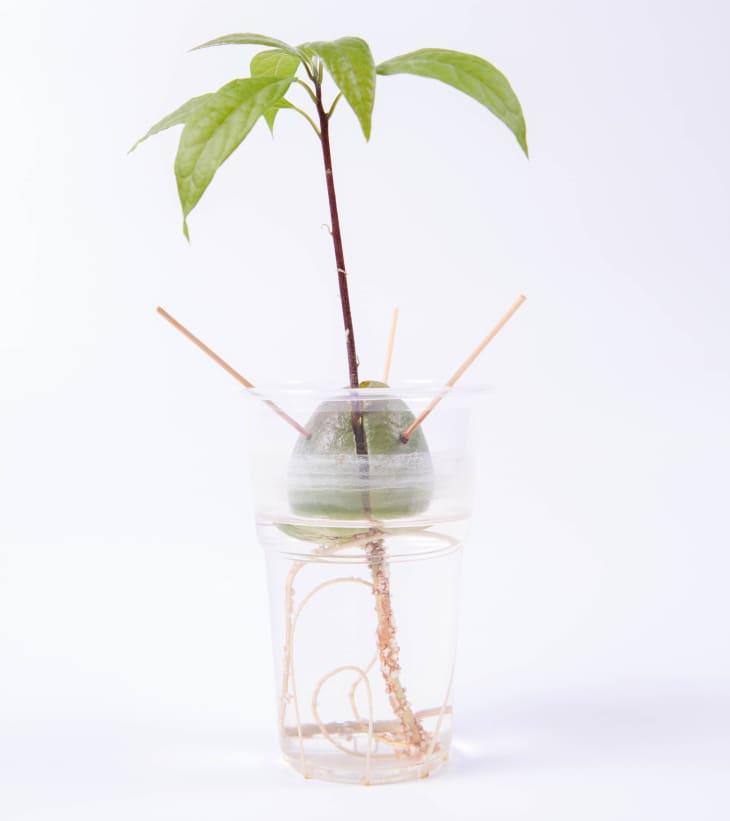 从家庭用品中种植的鳄梨种子