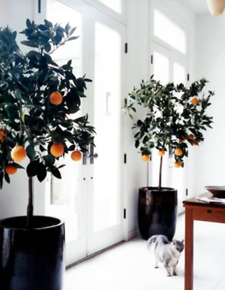 白色双开门相邻两侧的两棵柑橘树