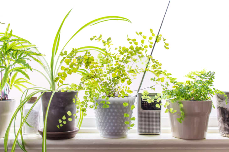 The Best Indoor Vining Plants Apartment Therapy