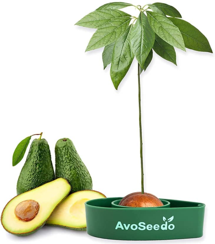 产品形象:AvoSeedo鳄梨树生长套件