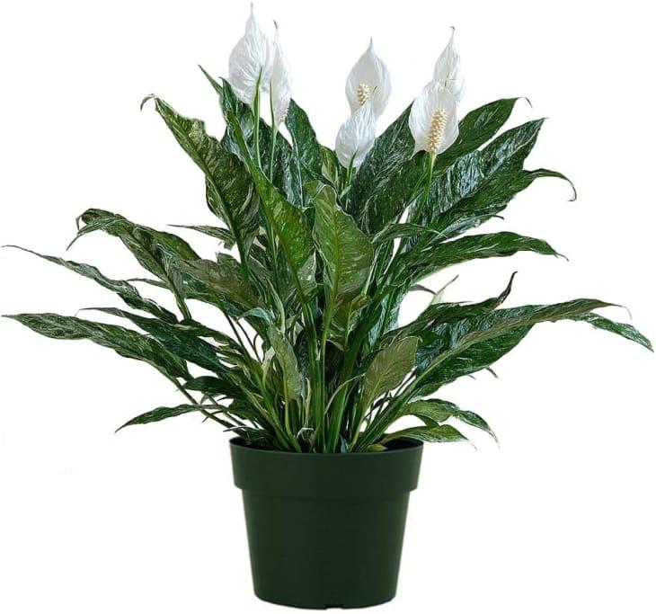 产品形象:美国植物交易所和平百合6英寸。锅