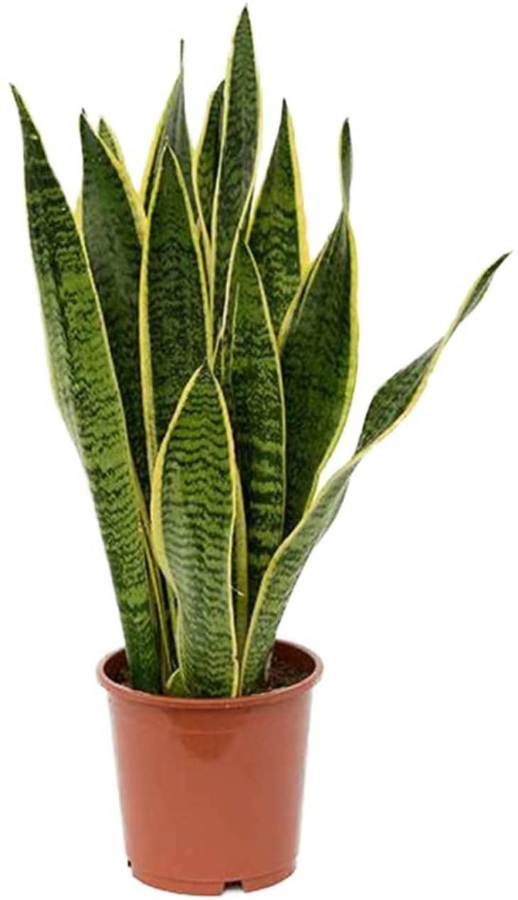 产品形象:美国植物交易所六寸蛇纹植物。锅