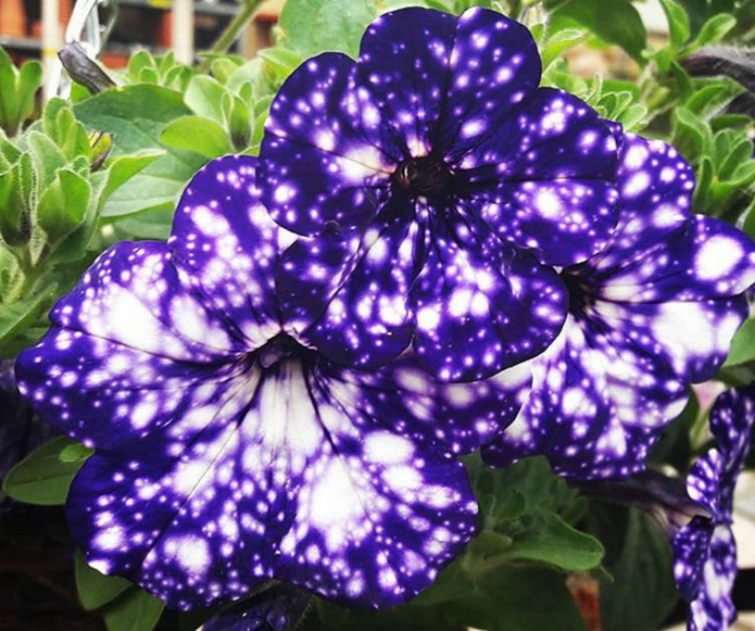 """Night Sky """"Galaxy"""" Flowers Will Make Your Yard Feel Out of This World"""