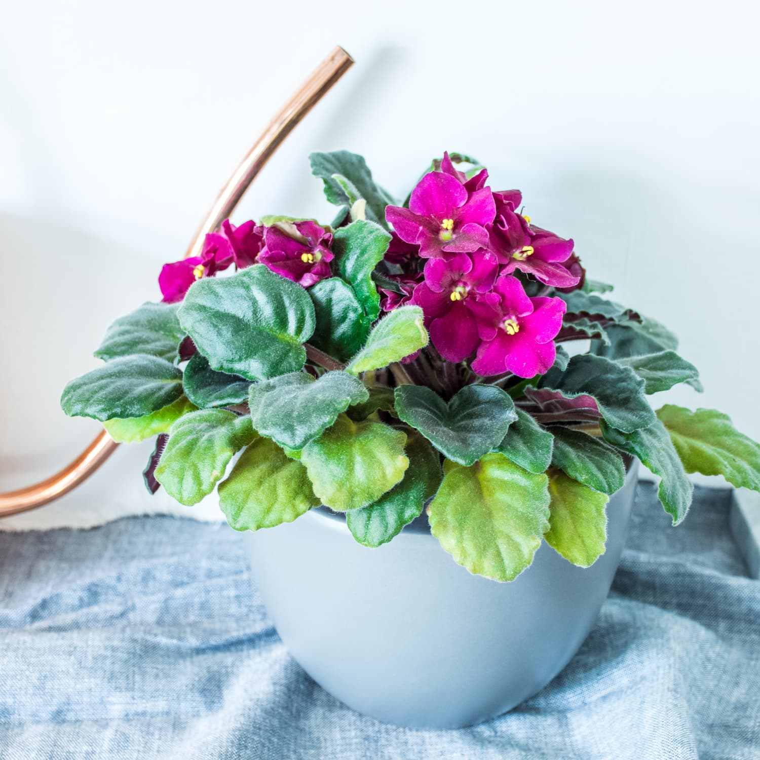 African Violets Care How To Grow Maintain African Violet Plants Apartment Therapy