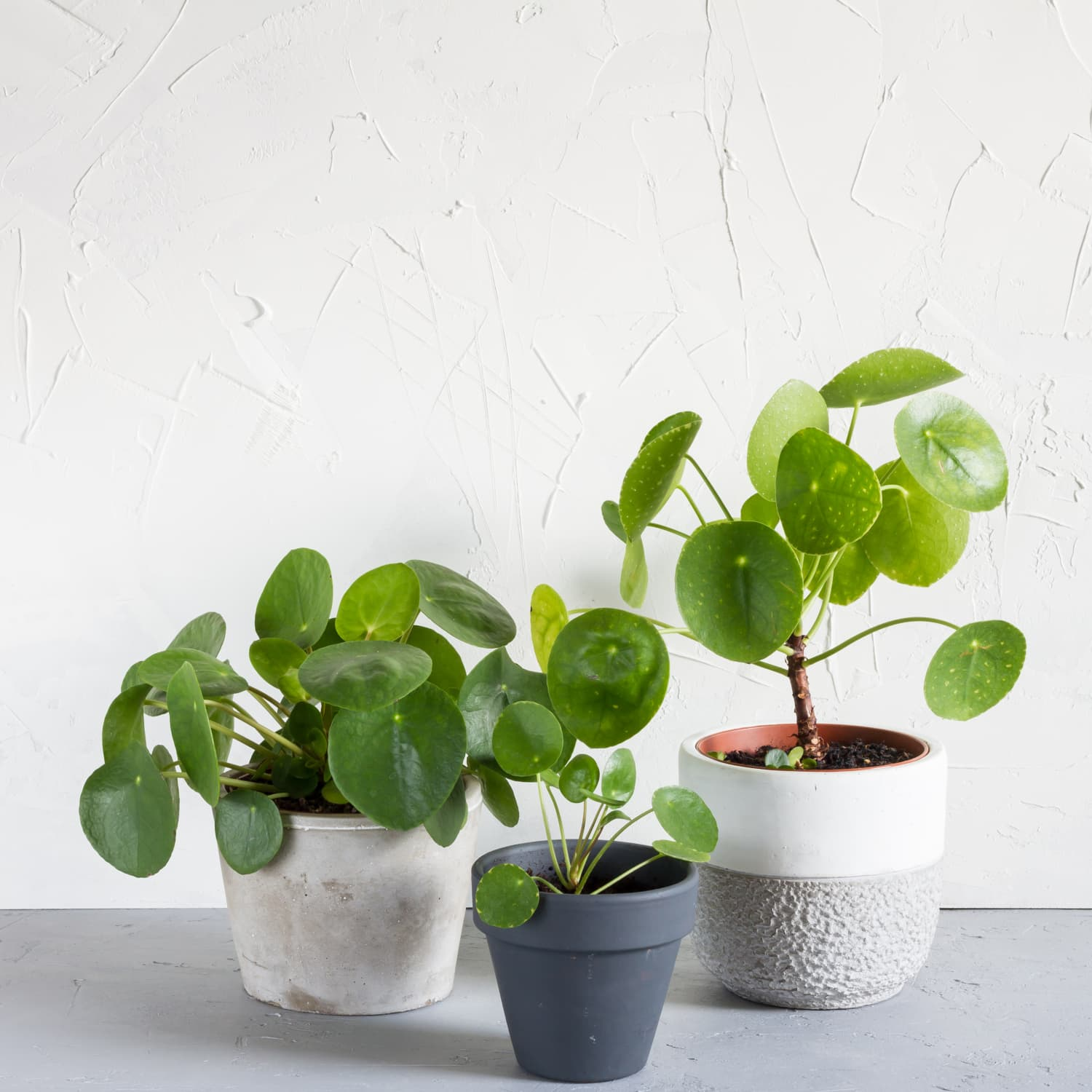 Chinese Money Plant Care How To Grow Maintain Pilea Peperomioides Apartment Therapy