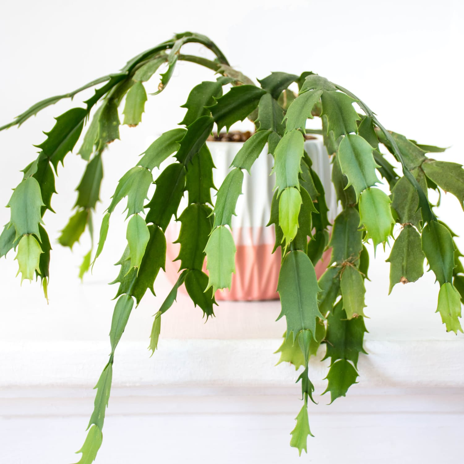 Christmas Cactus Care How To Grow Maintain Christmas Cactuses Apartment Therapy