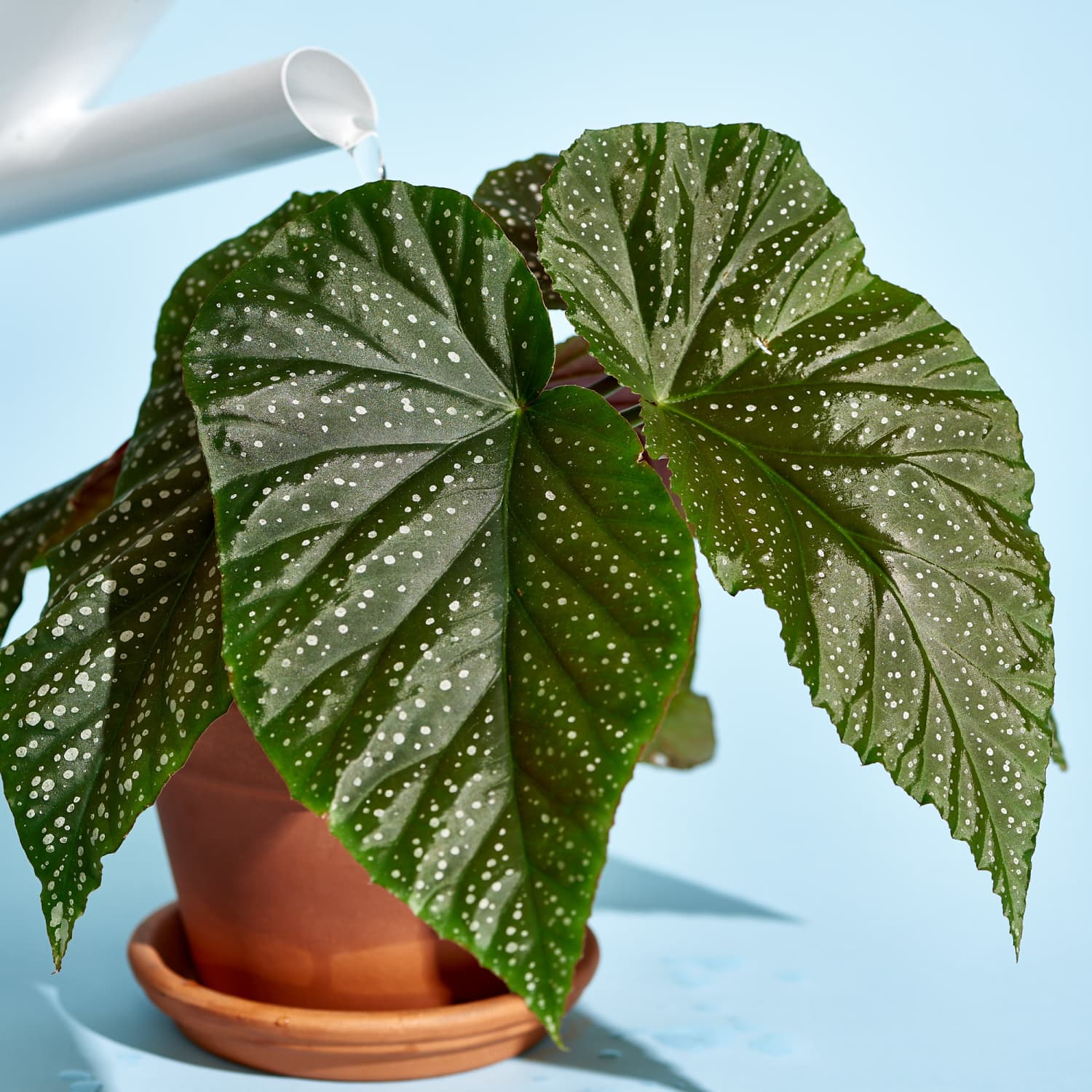 Begonia Plant Care How To Grow Maintain Begonia Plants Apartment Therapy