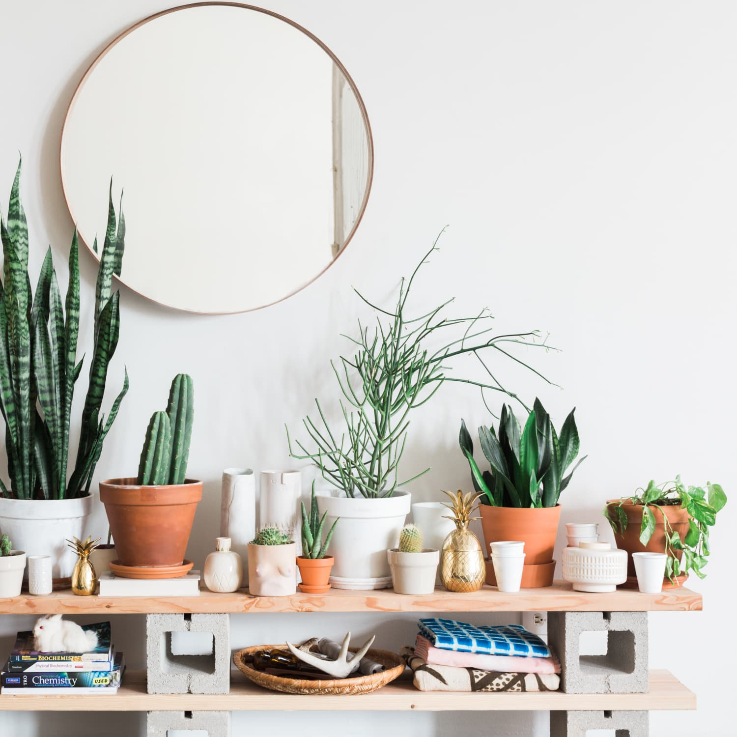 Pencil Cactus Care How To Grow Maintain Pencil Cactus Plants Apartment Therapy