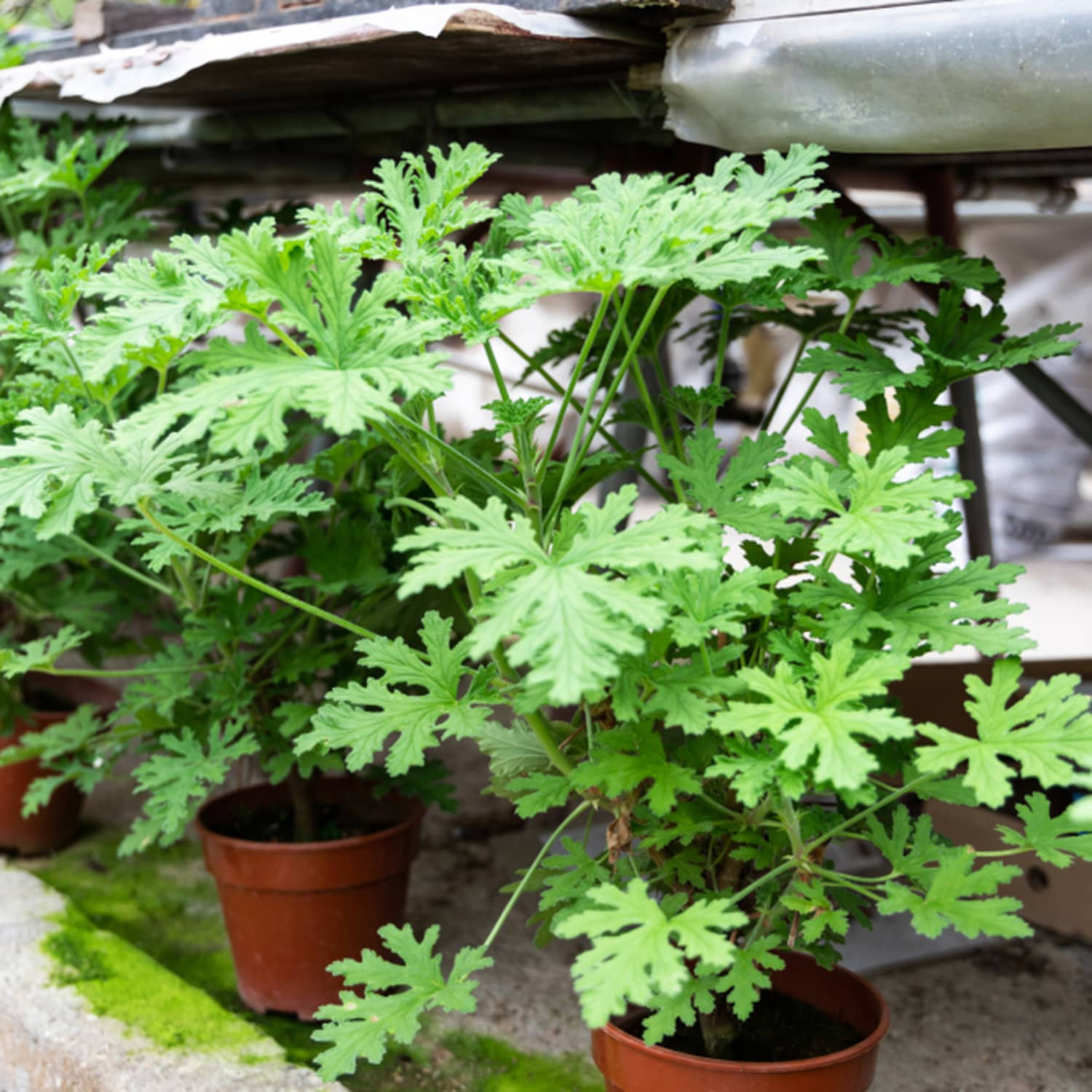 These Citronella Plants Repel Mosquitoes Apartment Therapy
