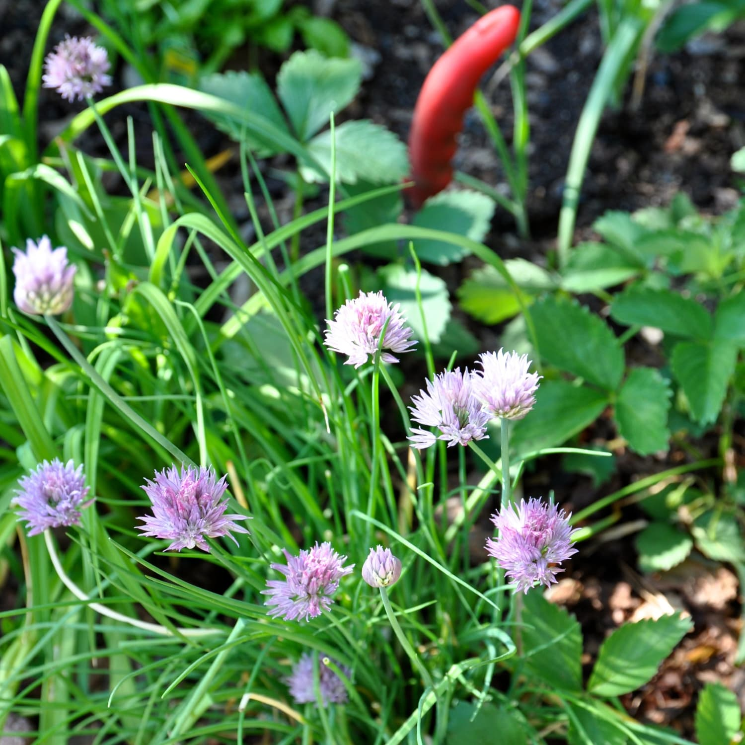Image of: Everything You Need To Know About Growing Chives Kitchn