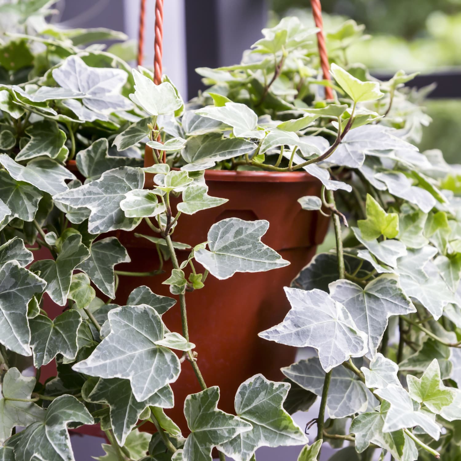 English Ivy Care Plant How To Grow Maintain English Ivies Apartment Therapy