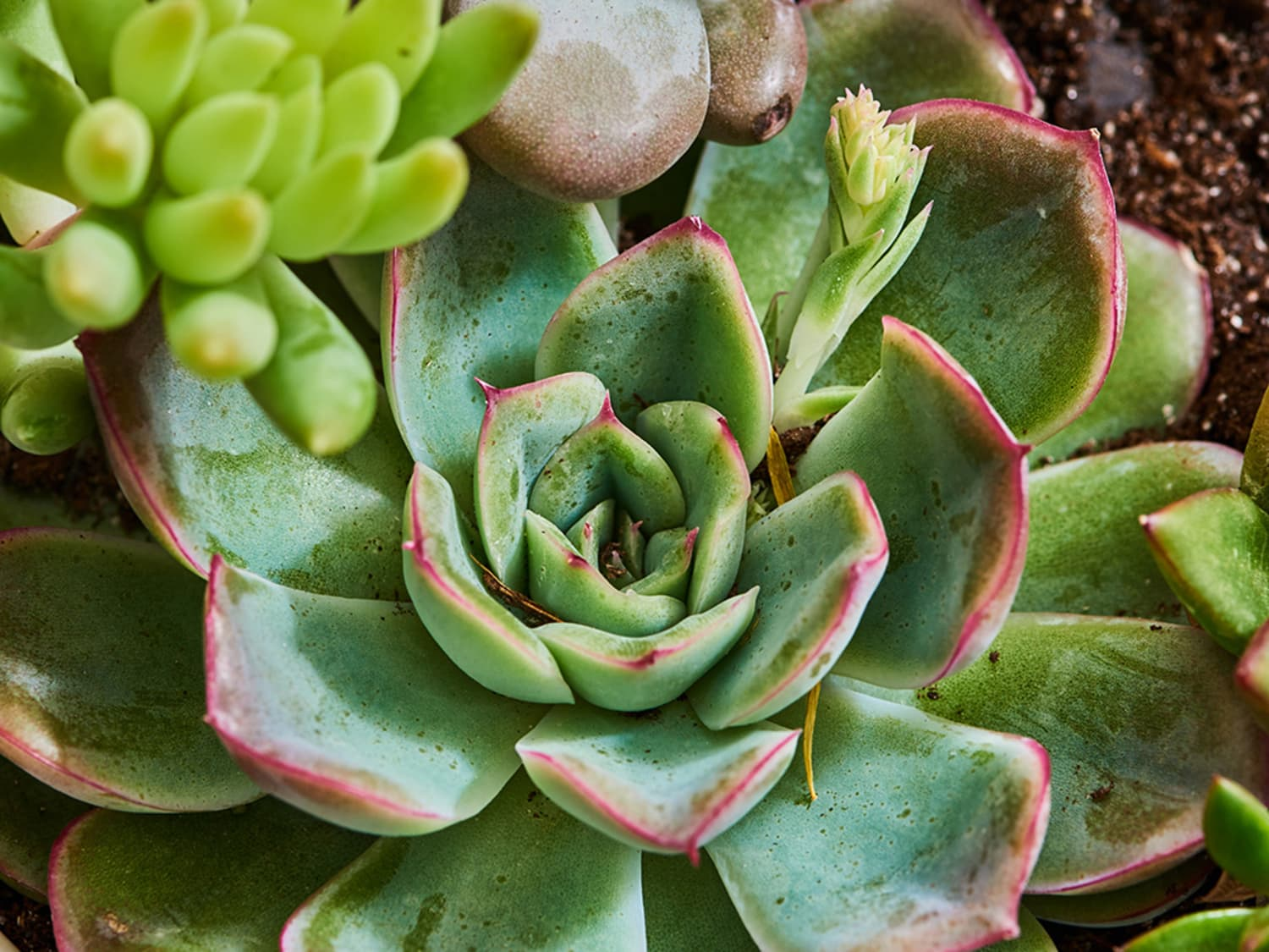 7 Best Mini Succulents Apartment Therapy