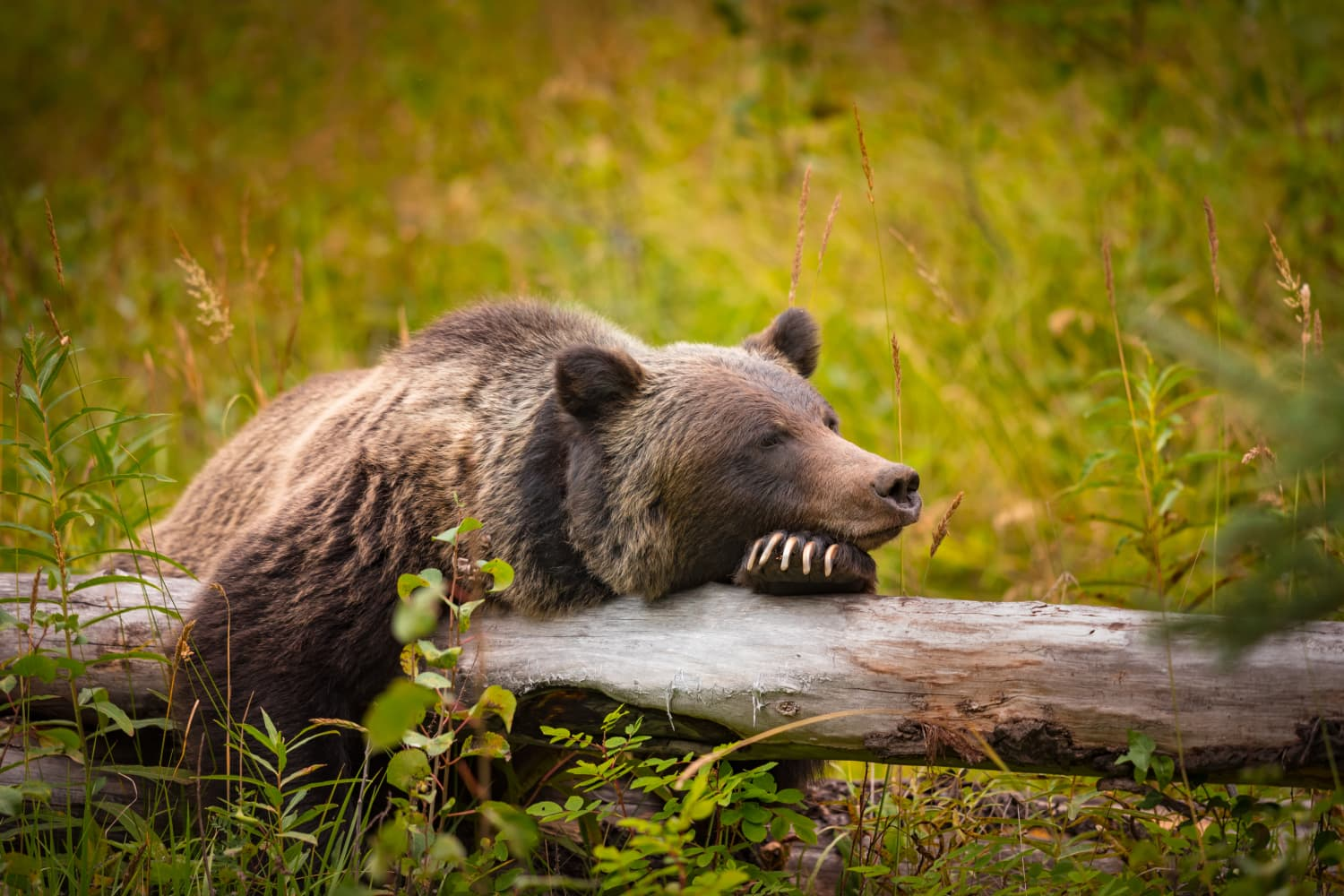 What Can Humans Learn from Grizzly Bear Hibernation? Scientists Are Working on It