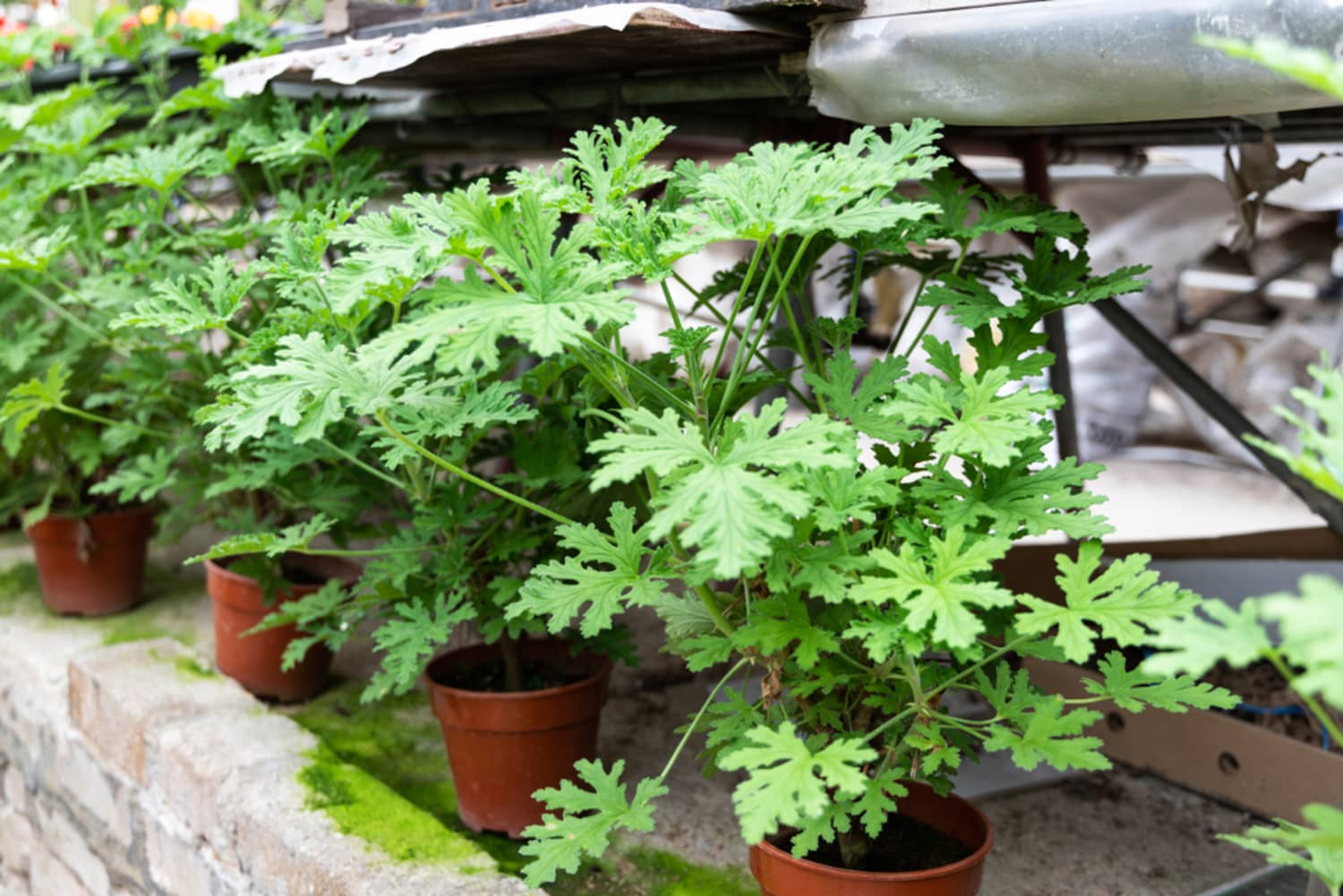 These Plants Repel Mosquitoes and Look So Much Better Than Bug Zappers