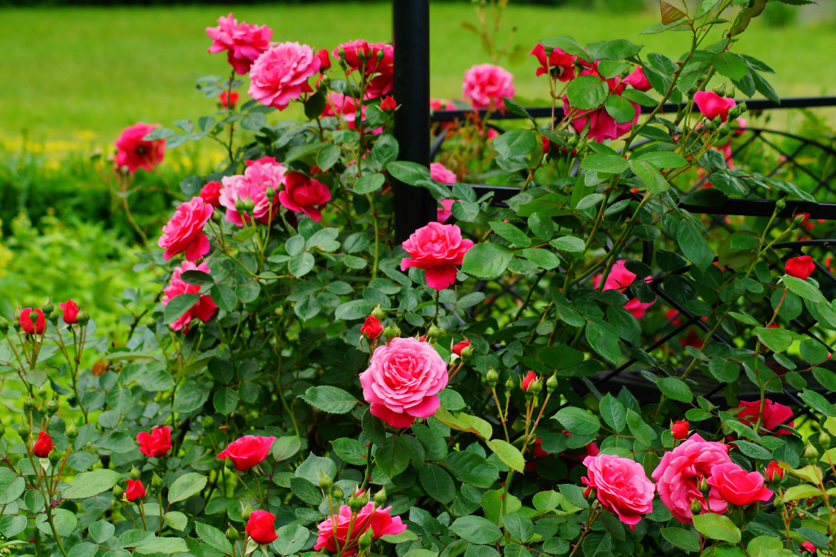 The Money-Saving Trick for Planting Roses — Even If You're a Beginner Gardener